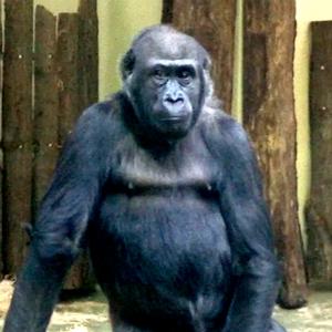 gorila-300