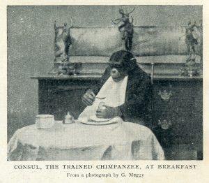 Cónsul, el chimpancé casi humano