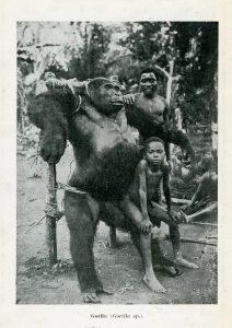 Armazones para gorilas muertos