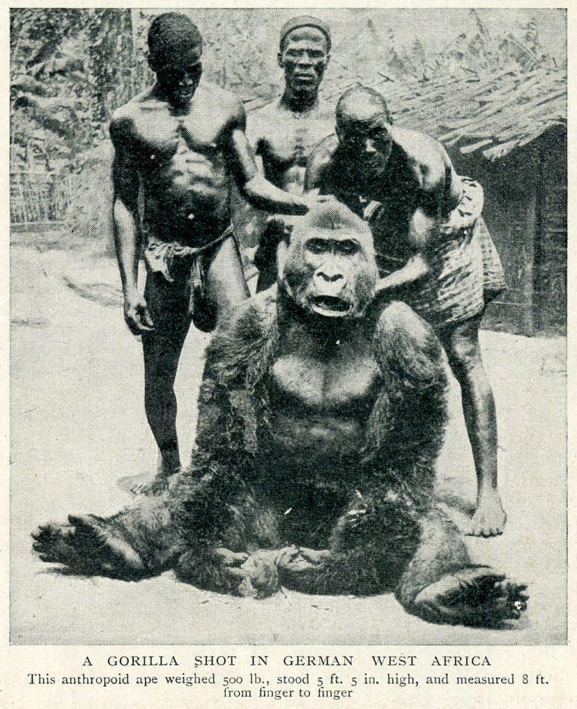 Un gorila de 500 libras