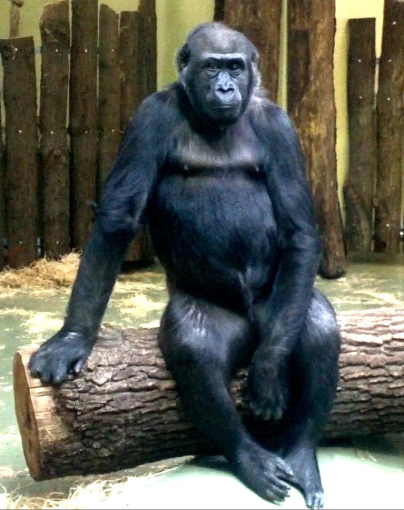 El gorila que querríamos ser
